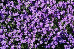 Nekombinujte na skalce rostliny, které potřebují odlišné množství světla. Netřesk lze umístit kamkoliv, stejně tak i jeho málo známé dvojče - cymbálek. Vyberte si z naší nabídky rostlin v dalším díle seriálu o skalkách a skalničkách.