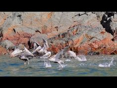 1000s of birds in Panama: Frigate, Blue Footed Booby, Brown Booby, Pelican, Bona Island - http://www.nopasc.org/1000s-of-birds-in-panama-frigate-blue-footed-booby-brown-booby-pelican-bona-island/