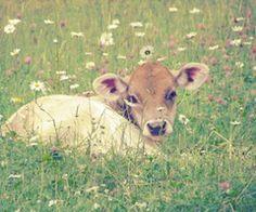calves that look like fawns >>> Flower Feild, Farm Animals, Cute Animals, Sweet Cow, Baby Cows, Cute Cows, Hobby Farms, Cattle, Animal Photography