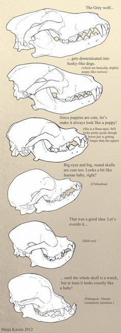 Domestic dog skulls, Playing with Genetics