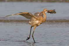 Reddish Egret, Upper Texas Coast