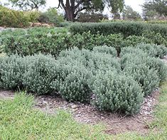 GREY BOX™ Westringia is a drought tolerant native box hedge plant.- Soft grey foliage and white flowers spring and autumn...30 x30 pruned (after flowering)