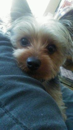 Julie's Harley ⋆ It's a Yorkie Life Yorshire Terrier, Baby Snoopy, Puppy Breath, Puppy Cut, Teacup Yorkie, Pet Dogs, Pets, Cute Funny Dogs, Yorkshire Terrier Puppies