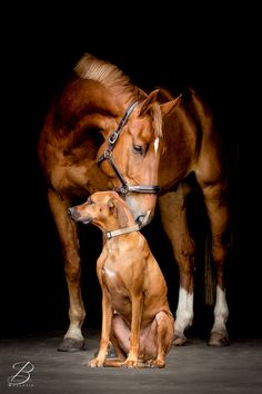 We like the idea of matching dogs and horses! Two chestnut beauties—a horse and a Rhodesian Ridgeback. Horses And Dogs, Cute Horses, Pretty Horses, Horse Love, Beautiful Horses, Animals Beautiful, Dogs And Puppies, Beautiful Creatures, Farm Animals