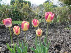 Tulipani rosa giallo #tulips #pink #yellow