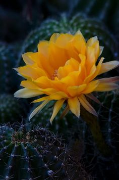✯ Night Blooming Cactus Flower