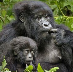 The Mountain Gorilla infant in Rwanda imitates mum's behaviour in a play session captured by Andy Rouse. Primates, Mammals, Beautiful Creatures, Animals Beautiful, Beautiful Birds, Cute Baby Animals, Animals And Pets, Orang Utan, Dian Fossey