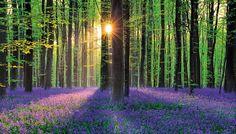 EL BOSQUE AZUL (BÉLGICA) Una alfombra de pétalos violetas cubre el sotobosque de Hallerbos, un área forestal situada entre el río Zenne y la localidad de Zoniën, 19 km al sur de Bruselas. El sendero señalizado de Achtdreven (1,8 km) conduce a través del sector más florido de este bosque de 540 hectáreas.