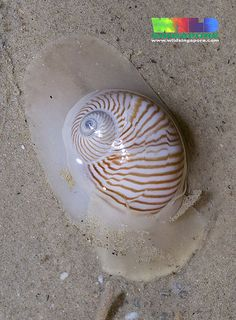 Lined moon snail (Natica lineata)