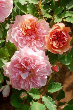 Shurub Roses 「Calendula」(2016)Yajima Naruhiro,Japan