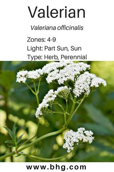 This upright perennial herb also called garden heliotrope is topped with white Catnip Plant, Cat In Heat, The Clumps, Natural Energy, Perennials, Something To Do, Herbalism, How Are You Feeling, Bloom