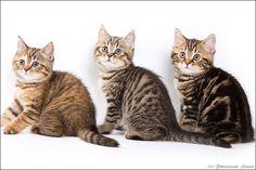 SuperCats - супер кошки - Форум - Питомник BRI - PLUSH CAT * RU - Марианна Стыжина (Москва)
