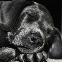 great dane puppy, looks like Charlie!