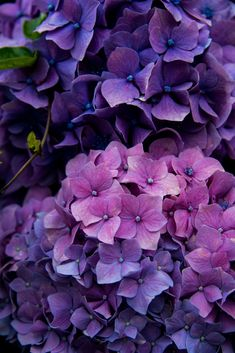 Flowers - My 1820 farmhouse is surrounded with hydrangeas A little bit of soil additive and several varieties will turn blue, even in the NE - PFLANZEN BLUMEN FRÜCHTE -