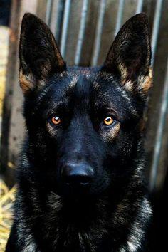 Beautiful sable black German shepherd. Look at those eyes!