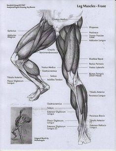 Exceptional Drawing The Human Figure Ideas. Staggering Drawing The Human Figure Ideas. Leg Anatomy, Anatomy Poses, Muscle Anatomy, Anatomy Study, Anatomy Reference, Art Reference, Anatomy Organs, Heart Anatomy, Human Anatomy Drawing