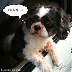 カミさん待ち〜 #christmas day #philippines #shihtzu #dog