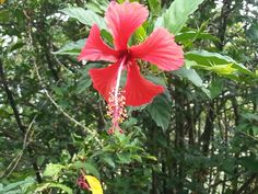 Flor roja _ Paola