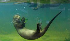 Een enorme otter zwemt rond in het bassin van een dierentuin in Engeland. Sinds deze week is het mogelijk om de dieren ook van onderwater te bekijken. Deze otter vindt het duidelijk een goede verbetering. Applaus! #Otter #Dierentuin #Applaus