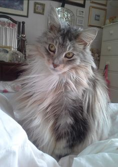 Serefina. Maine Coon cat. https://www.facebook.com/Mainecoonguide/posts/1975719376033701