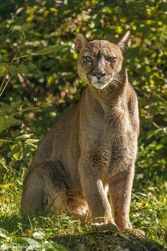 (via 500px / Puma - Cougar (Felis concolor) by Mladen Janjetovic)