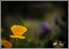 """""""May Flowers""""    An early morning May shower fell on this May flower leaving beads of water on the petals.     This California Poppy grows wild and is a welcomed sight with it's bright orange display.   For a better view or to purchase a print please click on the photo. Photo by Paul W. Koester"""