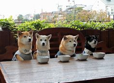 Shiba party! Shiba Inu, Shiba Puppy, Akita Dog, Cute Baby Animals, Animals And Pets, Funny Animals, Cute Puppies, Cute Dogs, Dogs And Puppies