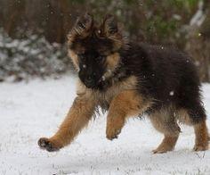 German shepherd running at winter