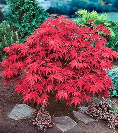 Japanese Maple - Acer Palmatum - Aceraceae Suitable of part sun/part shade. Damp to well drained soils. Planting Shrubs, Landscaping Plants, Deciduous Trees, Flowering Trees, Garden Trees, Garden Plants, Hill Garden, Back Gardens, Outdoor Gardens