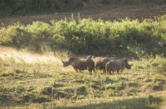 https://flic.kr/p/RokQgj | Hluhluwe–Imfolozi Park, South Africa - Rhinos | Hluhluwe–Imfolozi Park is the oldest proclaimed nature reserve in Africa. It consists of 960 km² of hilly topography 280 kilometres north of Durban in central Zululand, KwaZulu-Natal, South Africa and is known for its rich wildlife and conservation efforts. The park is the only state-run park in KwaZulu-Natal where each of the big five game animals can be found. Due to conservation efforts, the park now has the…