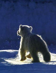 Polar Bear Cub    This is a gorgeous photograph !  So sweet.
