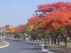 FLAMBOYAN - our native trees