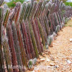 Creative and effective fence construction made from live cactus. One of the many interesting things to see while exploring beautiful Bonaire! This will keep unwanted visitors out!