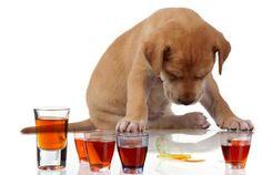 239 chien malade ivre alcool