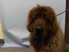 SAFE 7-11-2015 by Tibetan Mastiff Rescue Inc. --- Manhattan Center EASTER – A1042827  FEMALE, BROWN, TIBETAN MASTIFF MIX, 1 yr, 6 mos STRAY – STRAY WAIT, NO HOLD Reason STRAY Intake condition UNSPECIFIE Intake Date 07/05/2015