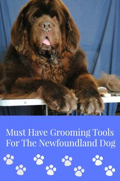 A Newfoundland's coat requires daily care and maintenance so we've put together a list of the most common grooming tools used on the Newfoundland dog.