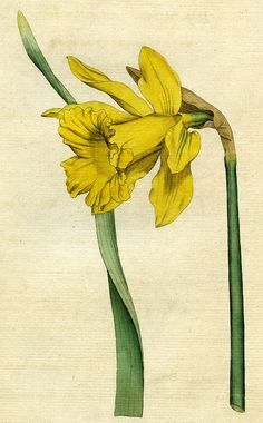 https://flic.kr/p/uK3AGt | Great daffodil, narcissus major | Great daffodil, narcissus major, illustration from a book published by William Curtis in 1787.   ACM907.6.4  DPABRH61