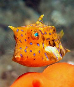 Cute little cow fish