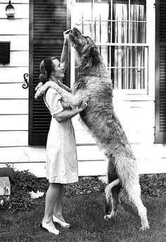Irish Wolfhound- one of my favorite breeds! They are such gentle giants.