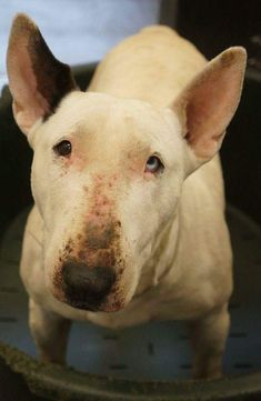 Bull Terrier Mix, Goats, Pitbulls, Animals, Animales, Animaux, Pitt Bulls, Pit Bulls, Animal