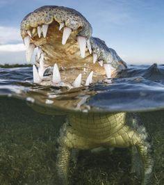 Photo : Un crocodile évoluant dans le golfe du Mexique