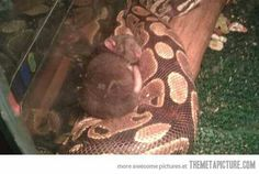 Snake refused to eat this rat for 2 months...