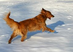 The Gorgeous Golden Retriever – The Right Dog for You ~ Amazing Animals