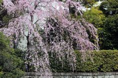 #spring, #cherry blossoms, #weeping cherry tree, #garden plant, #beautiful,