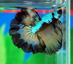 Over halfmoon rosetail metallic dragon butterfly Betta. Most vibrant body scales by far. Betta Fish Types, Betta Fish Care, Pretty Fish, Beautiful Fish, Colorful Fish, Tropical Fish, Poisson Combatant, Beautiful Creatures, Animals Beautiful