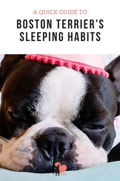 How much should a Boston Terrier sleep?  #bostonterrier #bostonterrierpuppy  #bostonterrierfacts #bostonterriercare #bostonterrierhealth #bostonterrierbehaviour #bostonterriertemperament #owningabostonterrier #dogowner #dogmums #dogfacts #dogsleeping #bostonterrierpuppy #bostonterriersleep Dog Sleeping Positions, Sleeping Dogs, Boston Terrier Temperament, Boston Bull Terrier, Every Dog Breed, National Sleep Foundation, Dog Facts, Working Dogs