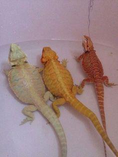 Pogona Nightmare Dragons