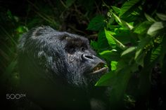 Mountain Gorilla - A battle scarred silverback is feeding in the dense jungle by the foot of the volcano Mikeno in Virunga National Park in DRC.