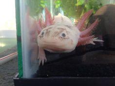 Kip, the axolotl (Mexican salamander)