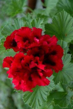 Geranium 'Tapestry Rose' Pelargonium